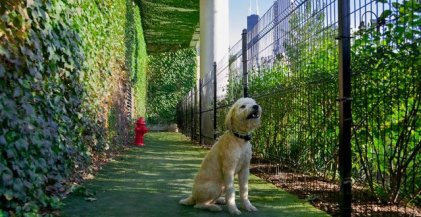 a yellow labradoodle sitting in the dog run of a Chicago apartment building