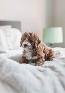 small dog with brown and white fur sitting on white bedspread in an apartment