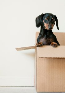 a mini dachshund sitting in an apartment moving box