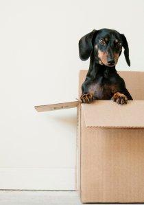 a mini Dachshund inside a cardboard moving box