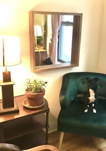 black and white dog sitting on green velvet club chair in a Chicago apartment for rent