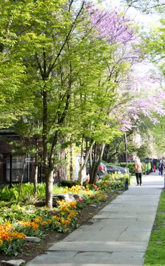tree lined street with sidewalk and blooming trees in Edgewater Chicago